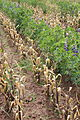 Tarwi intercropped with Andean dwarf maize, Puno.JPG