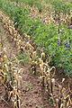 Tarwi intercropped with Andean dwarf maize, Puno.JPG