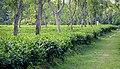 Tea garden at Rangapani teas estate 5.jpg