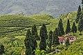 Tea garden views at ilam.jpg