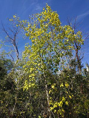 Terminalia eriostachya - Image: Terminalia eriostachya var. margaretiae 2