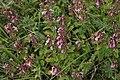 Teucrium-chamaedrys-flowers.jpg
