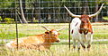 Texas Longhorn Cattle.jpg