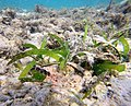 Thalassia Hemprichii.jpg