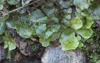 Bryophyte - Liverworts are included in the bryophyte group