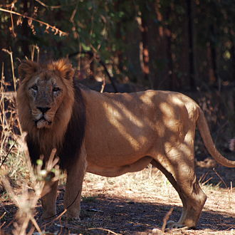 Shirvan State Reserve - Image: The Asiatic Lion