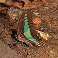 The Common Bluebottle (Graphium sarpedon) (15642115764).jpg