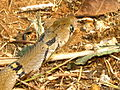 The Montane Trinket Snake (Coelognathus helena monticollaris) 29.JPG