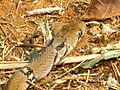 The Montane Trinket Snake (Coelognathus helena monticollaris) 30.JPG