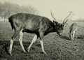 The deer of all lands (1898) Formosan sambar in Woburn Abbey.png