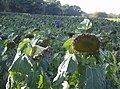The last of the sunflowers - geograph.org.uk - 590922.jpg