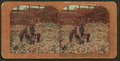 The never-ending search for the missing in the earthquake and fire devastated ruins of San Francisco, from Robert N. Dennis collection of stereoscopic views 2.png