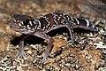 Thick-tailed Gecko (Underwoodisaurus milii) (8636519219).jpg