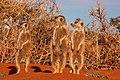 Three meerkats Suricata suricatta.jpg