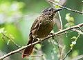Thripadectes melanorhynchus - Black-billed Treehunter (cropped).jpg