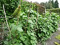 Thriving runner beans in the vegetable garden at York Gate. - geograph.org.uk - 1586872.jpg