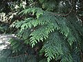 Thuja plicata in Odessa Botanical garden.jpg