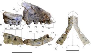 Thylacinus potens - Upper jaw