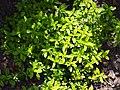 Thymus x citriodorus Macierzanka cytrynowa 2015 02.jpg