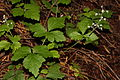 Tiarella trifoliata 1461.JPG