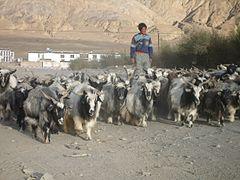 Tibetan Goats.jpg