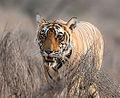 Tiger (13098627903).jpg