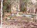 Tiger image33.jpg