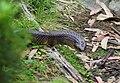 Tiger snake Stevage.jpg