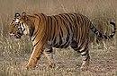 Tigerramki.jpg