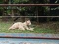 Tigers in Zoo Negara Malaysia (14).jpg