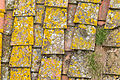Tiled roof with Lecanora in Certaldo-9351.jpg