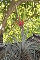 Tillandsia fasciculata (11124804683).jpg