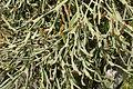 Tinajo La Santa - Lugar la Santa - Euphorbia enterophora 04 ies.jpg