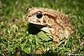 Toad Up Close (190899127).jpeg