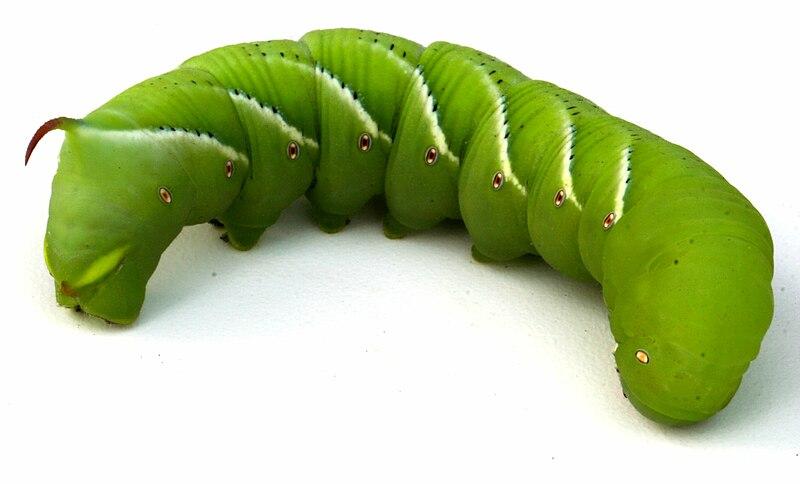 File:Tobacco hornworm 1.jpg