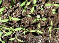 Tomato and basil plant seedlings growing in tray.JPG