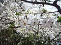 Torreblanca cherry blossoms.jpg