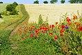 Torrid summer with the poppies and wheat - Vara torida cu maci si grau - panoramio.jpg