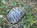 Tortoises in Krushevska Reka valley - P1100139.JPG
