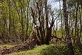 Totes Moor im LSG Schneerener Geest vor Neustadt am Rübenberg IMG 6834.jpg