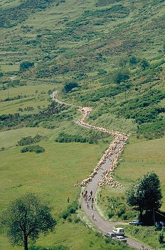 Transhumance - Moving sheep up along a road in the Massif Central, France