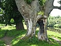 Tree beside the Clyde Walkway - geograph.org.uk - 1657678.jpg