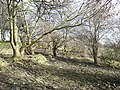 Trees, Clifton - geograph.org.uk - 1180560.jpg