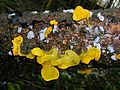 Tremella mesenterica or Witchs Butter.JPG