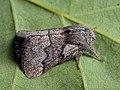 Trichiura crataegi ♂ - Pale eggar (male) - Коконопряд боярышниковый (самец) (40299039224).jpg