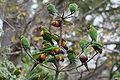 Trichoglossus haematodus -Lone Pine Koala Sanctuary-6.jpg