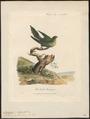 Trichoglossus pusillus - 1789 - Print - Iconographia Zoologica - Special Collections University of Amsterdam - UBA01 IZ18500235.tif