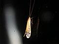 Trichoptera sp. (40991695752).jpg