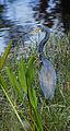 Tricolor Heron - Flickr - Andrea Westmoreland.jpg