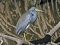 Tricolored Heron RWD4.jpg
